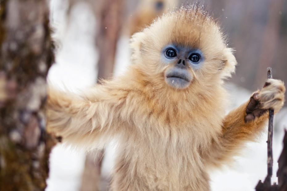 湖北神农架:雪中金丝猴萌态十足惹人爱