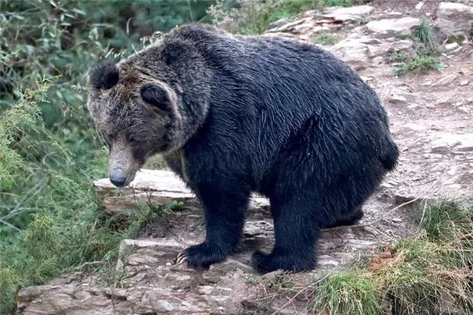 首次!北京野保专家在三江源地区发现罕见藏棕熊