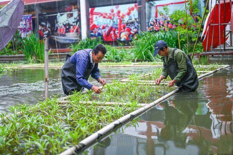 浙江湖州:水生蔬菜 净水增收
