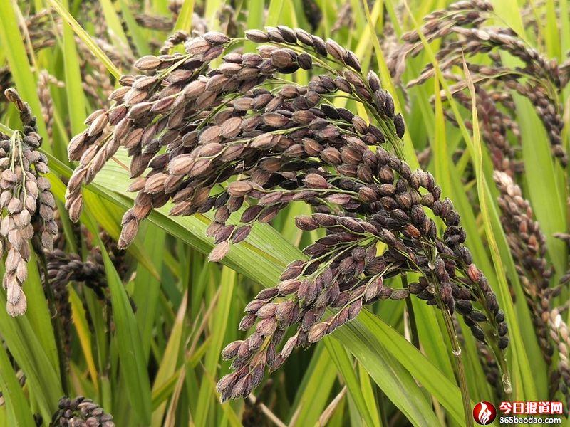 富硒胭脂黑稻 (1).jpg