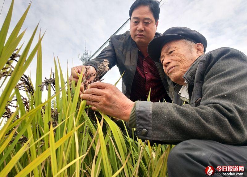 """山东郯城:富硒""""胭脂黑稻""""一亩顶四亩"""