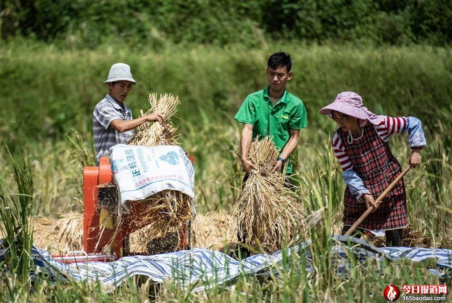 贵州六枝:稻谷飘香收获忙