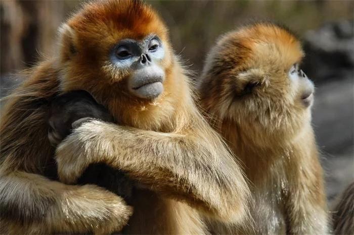 成功率94%!中国科研人员研发猴脸识别技术,未来可自动认猴、命名