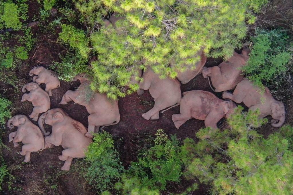云南将帮助北迁亚洲象逐渐返回适宜栖息地