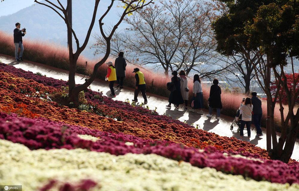 去秋意最浓的地方!韩国全罗南道菊花盛开