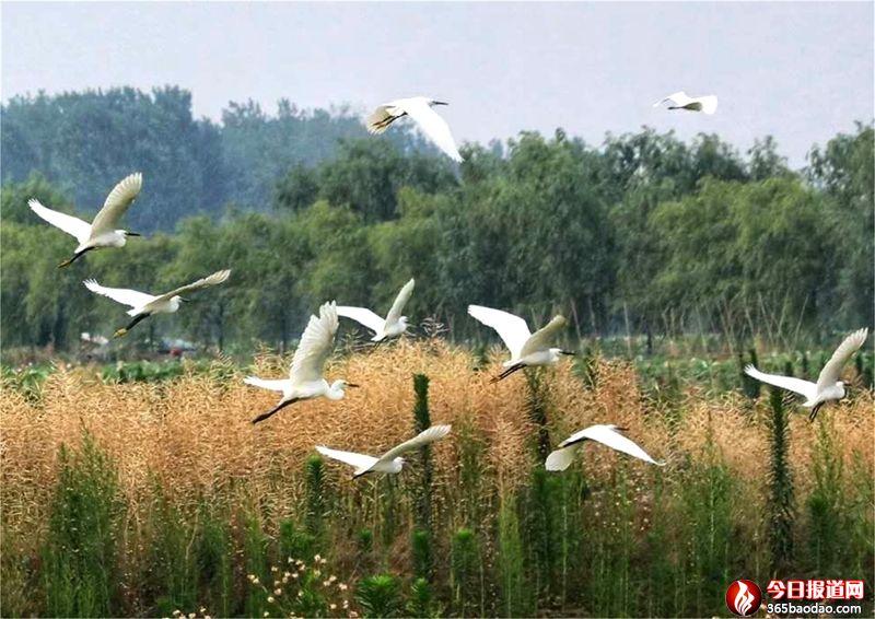 山东郯城:采莲湖畔生态好 美景迷住白鹭鸟