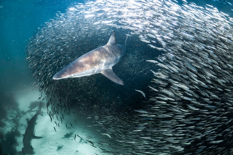 澳摄影师捕捉惊叹一幕:鱼群散开后出现一条鲨鱼