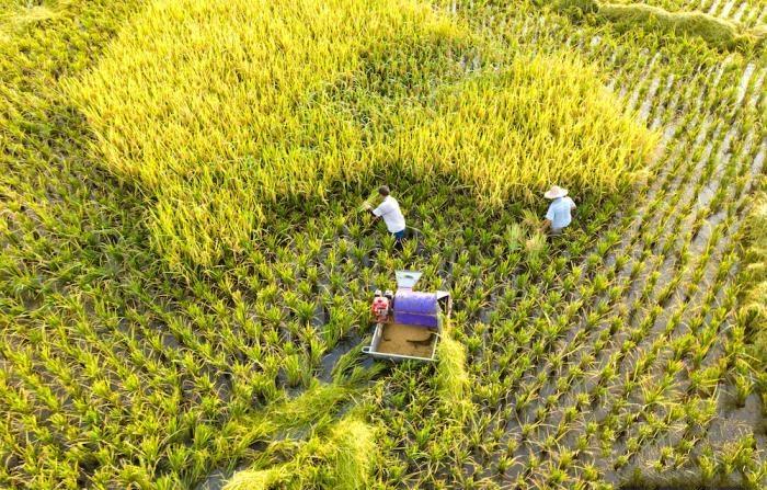 四川泸州:立秋时节稻飘香