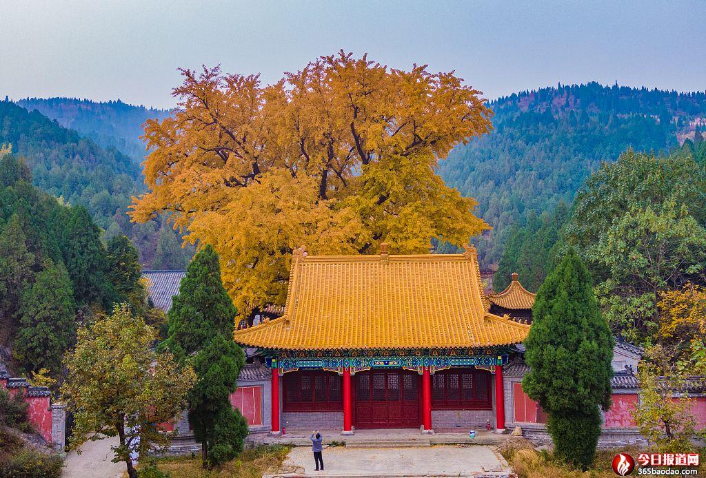 济南:淌豆寺千年古银杏树披金甲