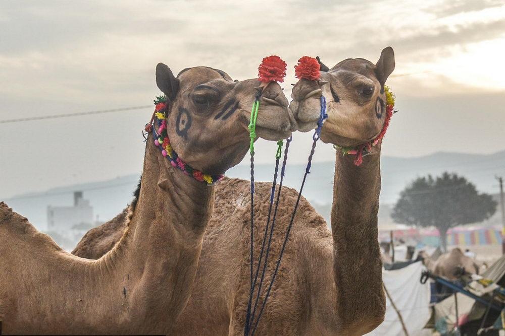 印度骆驼节开幕 数万骆驼集体亮相