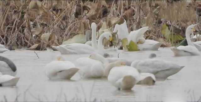 """候鸟""""恋""""上洞庭湖,回归自然成就的奇妙缘分"""