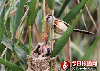 湿地王子——天津滨海北大港湿地里的守望者545_副本.jpg