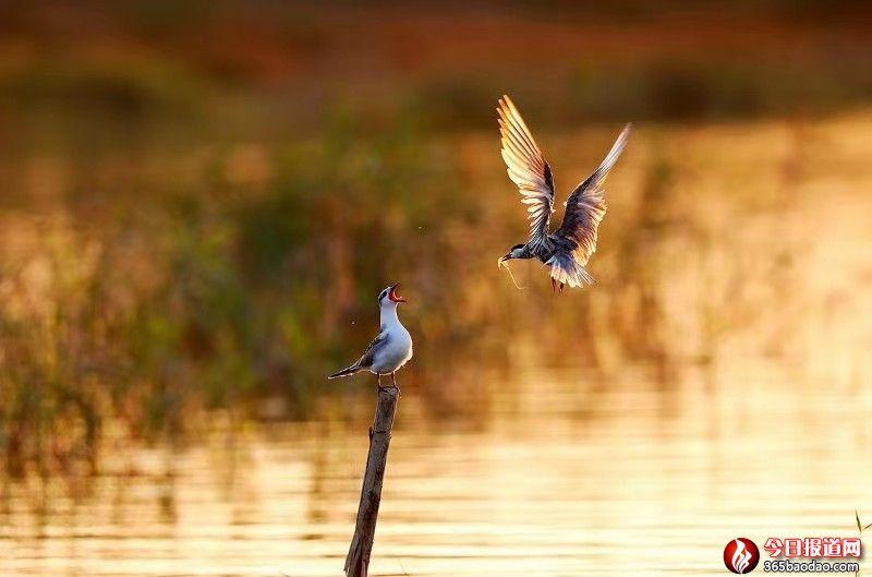 湿地王子——天津滨海北大港湿地里的守望者545.jpg