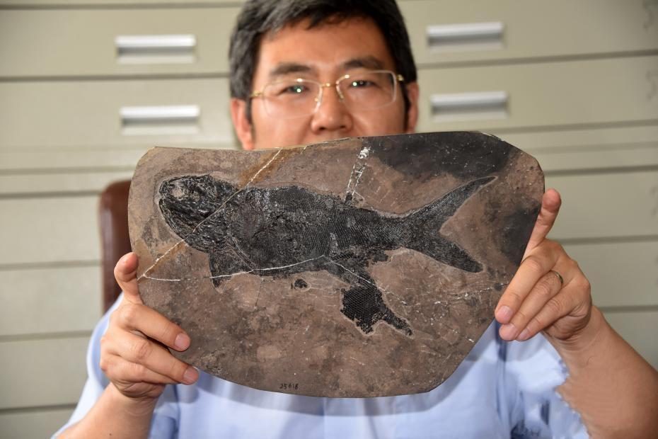 """中科院团队发现2.44亿年前最大基干辐鳍鱼类""""张氏翼鳕"""""""