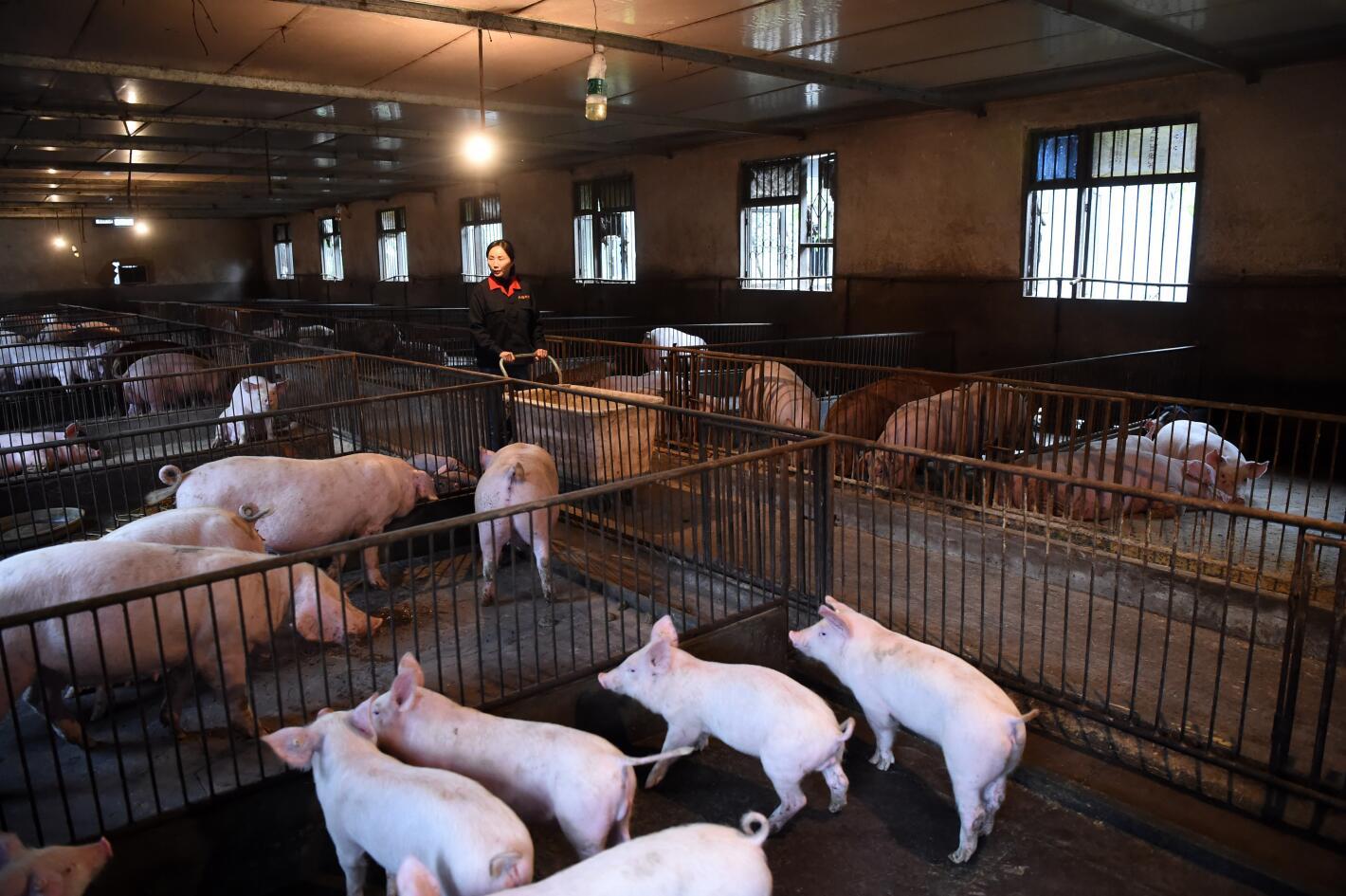 农业农村部:全力推动生猪生产加快恢复