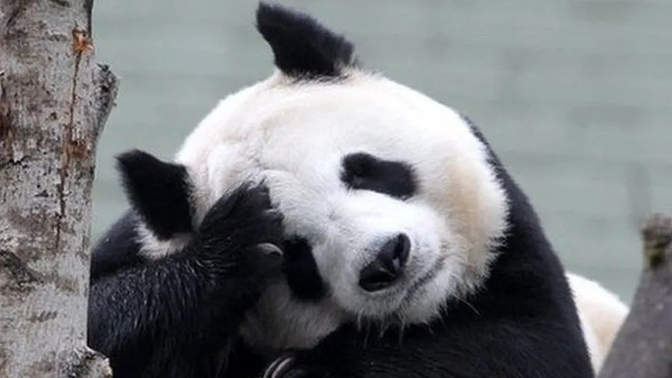 养不起了……疫情期间缺钱,英国考虑将大熊猫送回中国
