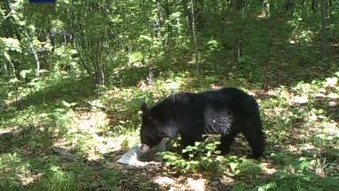 """我国首次发现东北虎吃黑熊的珍贵影像,肉还""""冒着热气"""""""